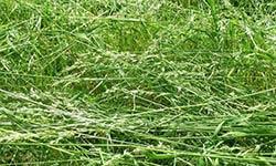 biomass grass